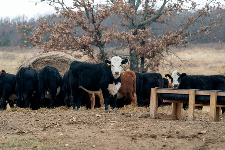 Herd of Cows grazing on hay on a Ranch in Oklahoma. Imagens