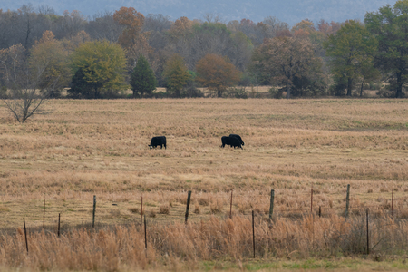 Cows grazing in a ranch pasture in Oklahoma on a cold fall morning 스톡 콘텐츠