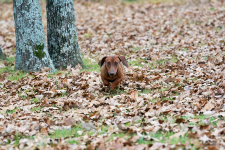 Wiener  dachshund dog running through the leaves toward the camera on a cold autumn morning. Imagens