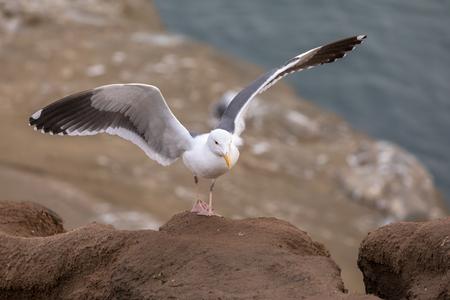 Seagull just landed on a rock along the cliffs, La Jolla Beach, San Diego, California