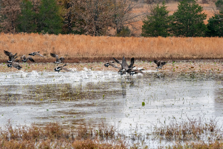 Flock of Geese taking off from a pond in the country on a cold fall day