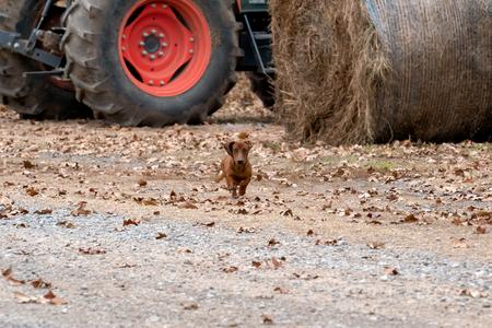 Wiener  dachshund dog running toward the camera on a ranch in Oklahoma Imagens