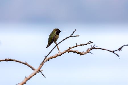 Hummingbird (Annas Hummingbird) sitting on branch,  La Jolla, San Diego, California
