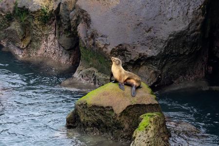 California Sea Lion sitting on rocks in the morning sun light in La Jolla, San Diego, California