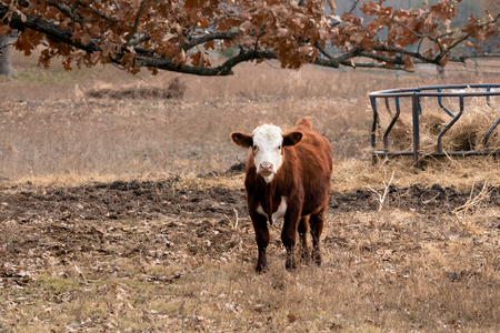 Cow standing  in a ranch pasture in Oklahoma on a cold fall morning