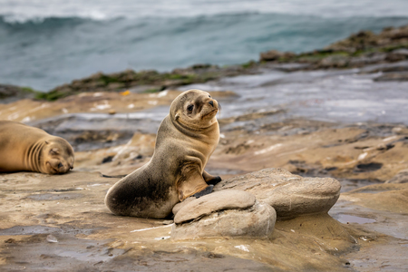 Baby Sea Lion Pup sitting on the rocks - cute face - La Jolla, San Diego, California