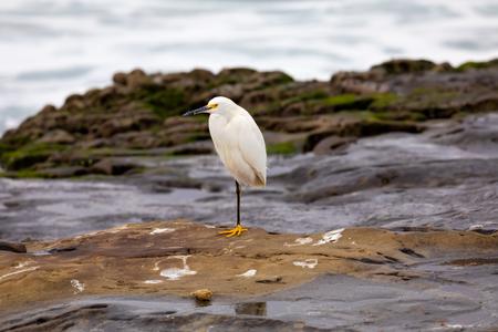Egret standing on one leg, on the rocks La Jolla Beach, San Diego, California
