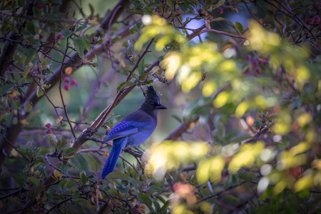 Stellers Blue Jay sitting on a branch in the leaves of a tree - Big Bear California Imagens