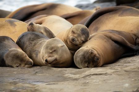 Baby Sea Lion pups sleeping on the rocks in La Jolla, San Diego, California.