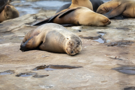 Sea Lion Pup taking a nap on the rocks in La Jolla, San Diego, California.