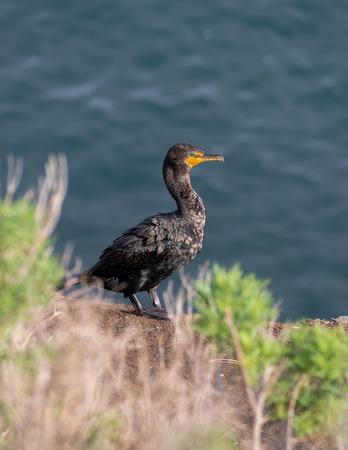 Cormorants bird standing on the bluff, La Jolla beach, San Diego, California