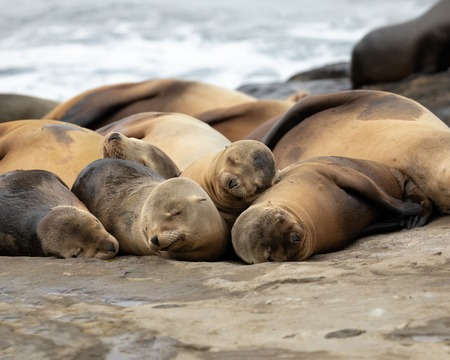 Sea Lions sleeping on the rocks La Jolla Beach, California