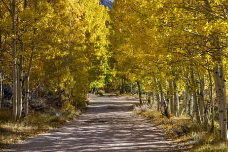 Fall Tree lined dirt road surrounded by yellow and gold tree leaves in Bishop California Imagens