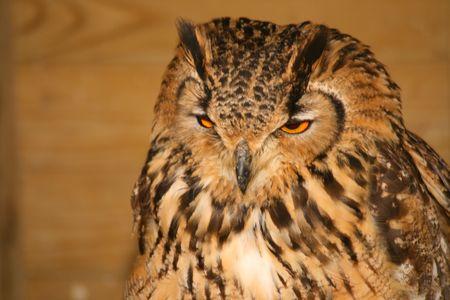 Bengle Eagle Owl