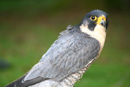 Peregrine Trio Falcon