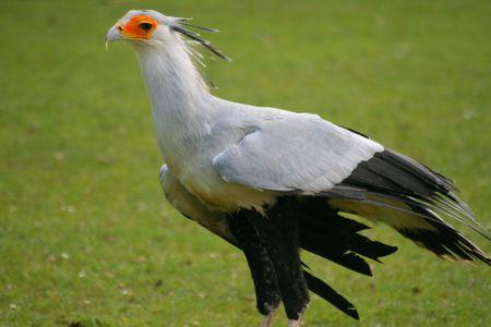 shuttleworth: Secretary Bird