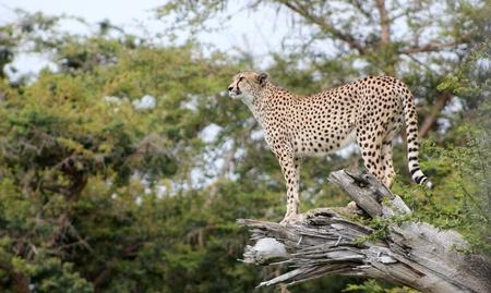 cheetah Reklamní fotografie - 10960172