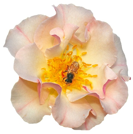A busy bee collects pollen from a delicate pink rose. Isolated from background. photo
