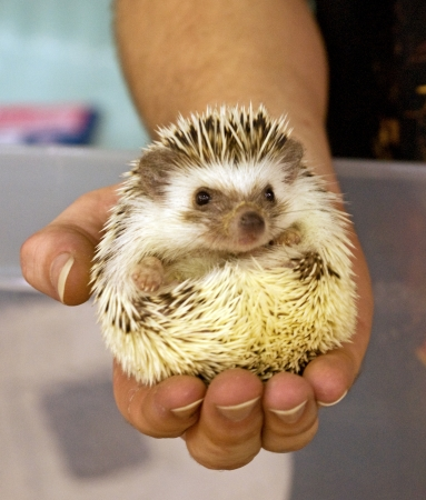 A man holds a domesticated hedgehog pet in the palm of his hand. Stock Photo