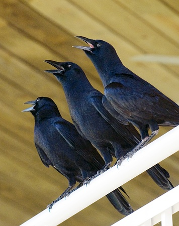 Three crows perch on a railing with open beaks. The birds look like a chorus.