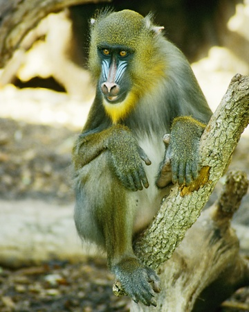 Mandrill sits in the zoo looking out at you.