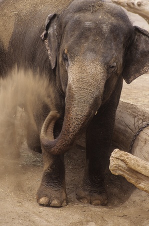Animal African elephant throws dirt in Lowry Park Zoo, Tampa Florida. Stock Photo