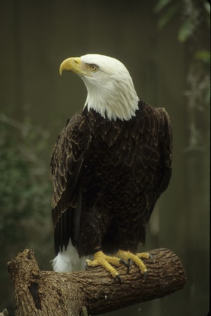 bird watcher: Perched and alert bald eagle. USA Stock Photo