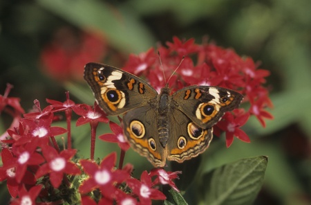 Buckeye butterfly (Precis coenia) on Pentas flower.