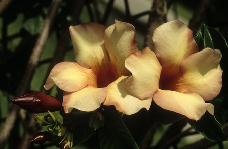 Allamanda violacea Cream, budding and in full bloom. Stock Photo