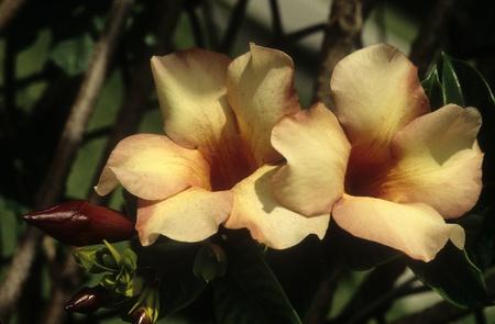 leu: Allamanda violacea Cream, budding and in full bloom. Stock Photo