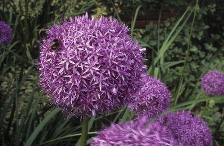 Flower Allium Globemaster is hosting a bee for a visit. Brilliantly colored purple globe at Ness Botanical Garden in England.
