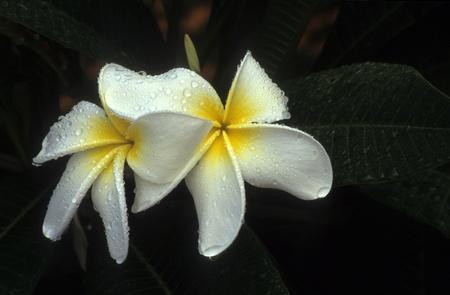 leu: Flower Plumeria, Frangipani nome comune bianco, contrasto netto, a Harry P. Leu Garden in Florida.