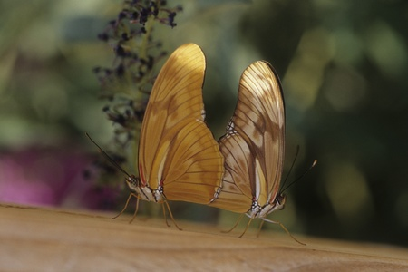 Two Julia butterflies (Dryas julia) mating at Rio Grande Botanical Garden, New Mexico.