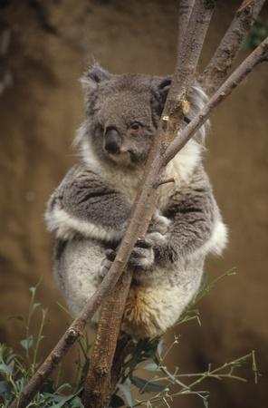 Koala bear hugs tree branch while focused away from zoo viewer.