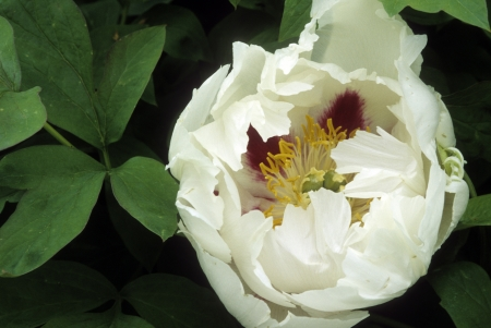 Beautiful white peony  Paeonia suffruticosa subsp  rockii  flower blooms