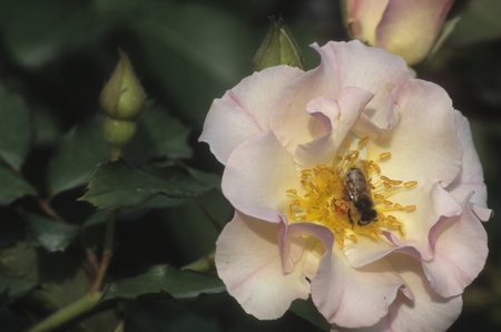 Bee pollinating a pink rose.