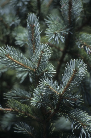 Close-up of spruce tree in Pecos National Forest, New Mexico. Textured background for winter theme article, website or stationery.