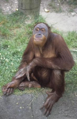 Sumatran orangutan captive at New Orleans Zoo, Pongo abelii.