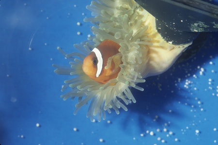 Tomato clown fish 'partnering' with anemone in salt water aquarium.  photo