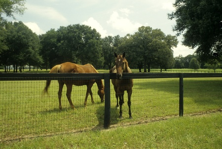 Two horses in a pasture. One horse is eating grass, the other horse has moved up to the fence to look at the viewer. Stock Photo - 11410496