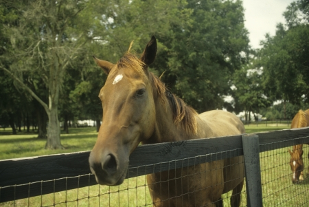 Brown horse comes to fence to say Hello in Florida. Stock Photo
