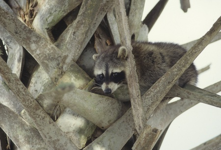 Raccoon eyes viewer warily from a palm tree. photo