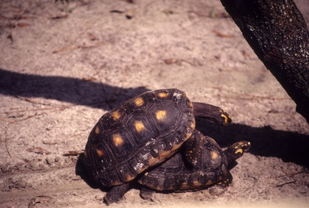 Pair of yellow-footed tortoises mating on sand.