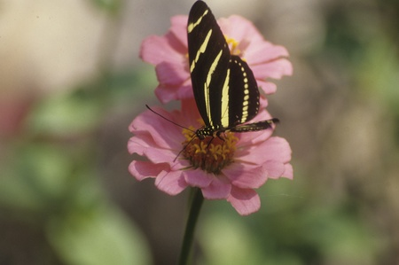 Zebra longwing butterfly (Heliconius charitonius) on flower.