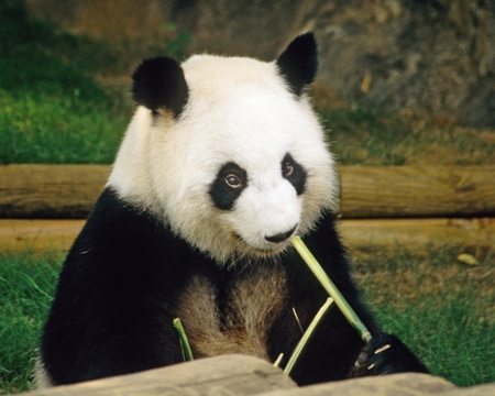 Giant Panda contentedly munches on a bamboo stalk in the Atlanta zoo.