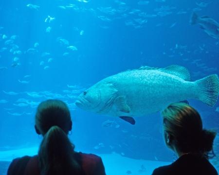 lanceolatus: Giant grouper and sergeant fish at Georgia Aquarium in Atlanta, Georgia.