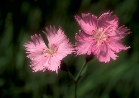 Two carnations (Dianthus)  flowers growing in Lansing, Michigan, USA