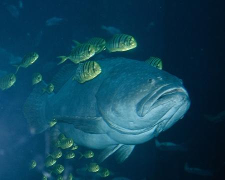 lanceolatus: Giant Grouper and Sergeant Fish Stock Photo