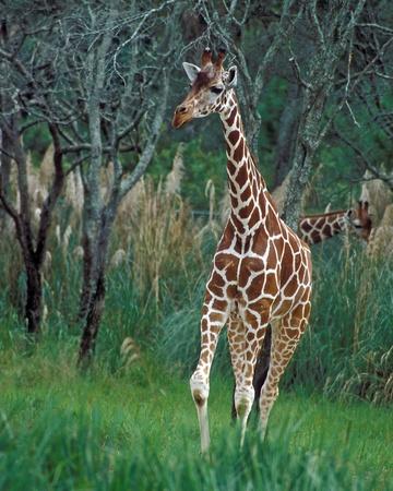 Giraffe on the grounds of the Animal Kingdom Lodge, Orlando, Florida. Editorial