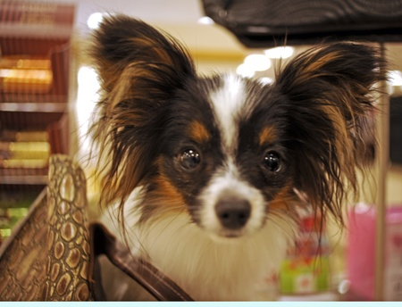 Papillon puppy dog, gets its name from ears like butterfly wings, sits on a department store counter as her owner shops, in Florida.